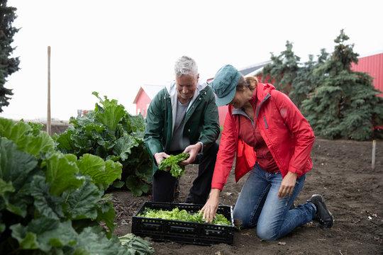 Farmer couple harvesting lettuce in vegetable garden on farm