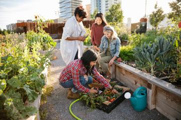 Women friends harvesting fresh vegetables in urban community garden
