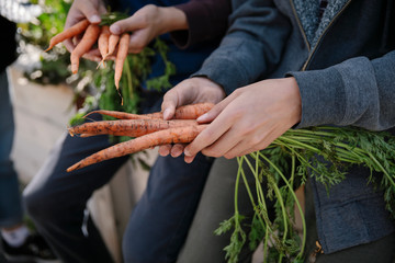 Close up boys harvesting fresh carrots