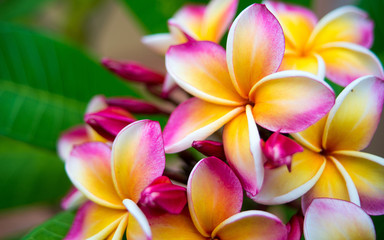 Autocollant pour porte Frangipanni Plumeria flower.Pink yellow and white frangipani tropical flora, plumeria blossom blooming on tree.
