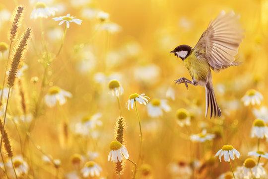 beautiful little bird yellow tit flies over a field of white Daisy flowers in Sunny summer evening