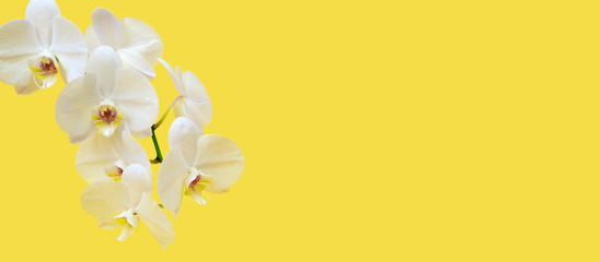 Tuinposter Orchidee Twig of white orchid flower (phalaenopsis) on yellow background. Copy space. Spring flowers banner.