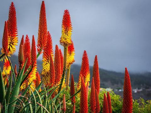 Blühende Aloe Vera
