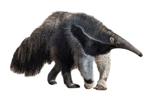 Giant anteater / ant bear against white background