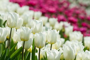 Wall Mural - White tulips flowers