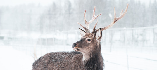 Sika deer ,  Cervus nippon, spotted deer  Macro portrait,   in the snow on a white background
