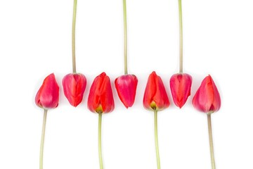 red flowers tulips in buds on a white background top view flat lay