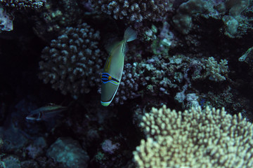 Rhinecanthus assasi under water, Rhinecanthus assasi in the beautiful ocean of egypt, under water photography