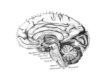 The illustration of Big and small brain from the side in the old book die Anatomie des Menschen, by C. Heitzmann, 1875, Wien