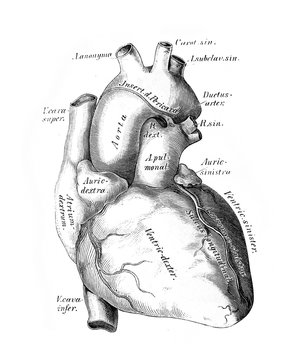 The illustration of the heart and the big vessels in the old book die Anatomie des Menschen, by C. Heitzmann, 1875, Wien