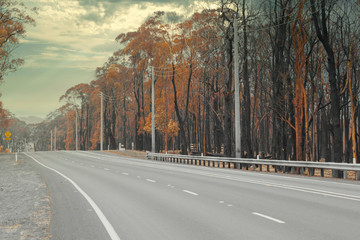 A country road amongst severely burnt Eucalyptus trees after a bushfire in The Blue Mountains