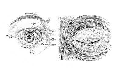 The illustration of the eye and muscles of the eyelid cleft