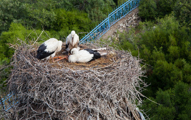 stork returning to their nests in the spring months, the stork's nest, stork puppies