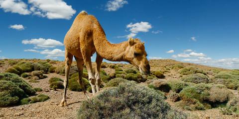 Poster Kameel camel in the desert of morocco