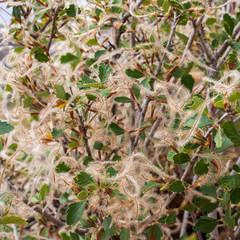 Mountain mahogany - Cercocarpus montanus