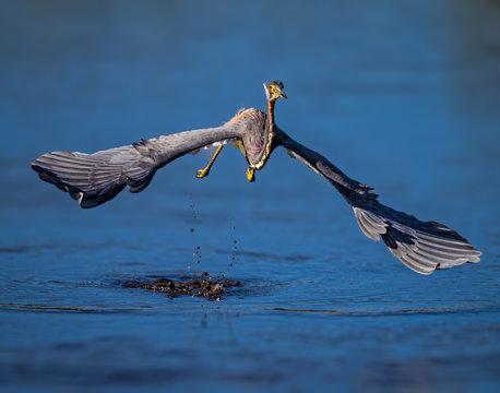 Tricolor heron in full flight heading toward camera