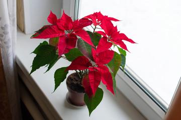 Poinsettia - Christmas star blooming on a windowsill