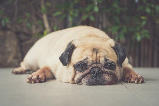 Funny Sleepy Pug Dog with gum in the eye sleep rest on floor