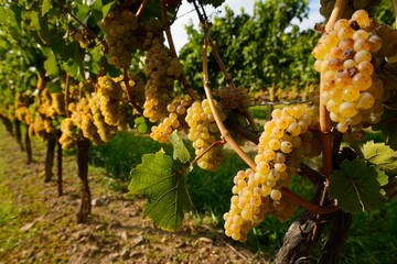 Golden Riesling grapes on rows of vines Niagara on the Lake Ontario