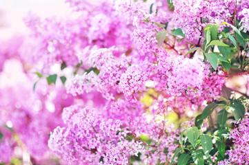 Wall Murals Lilac Spring blossoming lilac flowers in garden, selective focus, toned, light bokeh background, pastel and soft floral card