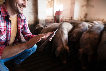 Closeup view of farmer touching tablet at pig farm while pigs domestic animals eating in background.