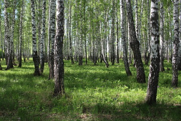 Fototapeta Siberian forest birch grove with beautiful trees in summer with green leaves