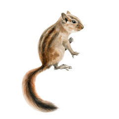 Forest chipmunk (squirrel) watercolor image. Hand drawn small rodent with a beautiful long tail close up illustration. Cute young wild gnawer isolated on white background.
