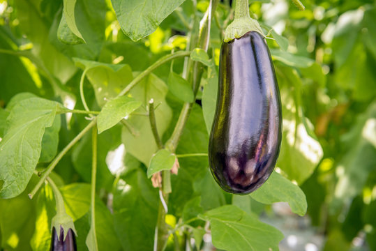 Purple fruit of an eggplant from close