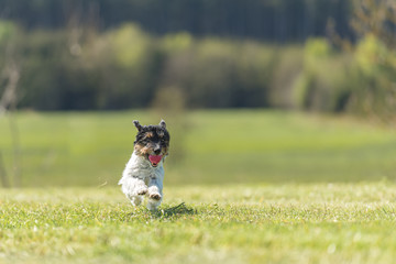 Funny little Jack Russell Terrier dog runs joyfully with a ball in his mouth over a green meadow in a beautiful landscape