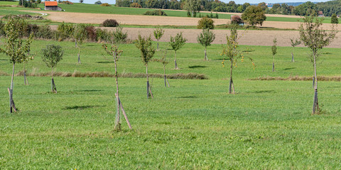 Young orchard meadow in front of blue sky in Bavaria in Unterallgaeu Germany. Young different trees