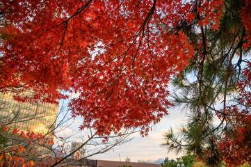 Türaufkleber Violett rot 紅葉の樹木