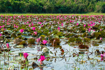 Garden Poster Lotus flower Nymphaea lotus, pink color fresh lotus blossom or water lily flower blooming on pond background. Beautiful nature Landscape and wild life of pink Lotus Sea in the morning.