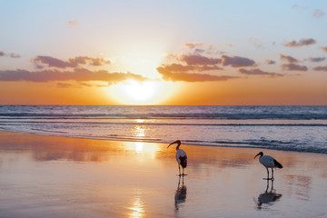 Silhouette of a pair of sacred ibis (Threskiornis aethiopicus) on the beach in Fuerteventura in the warm light of the sunrise. Invasive animal species on the Canary Islands. Wildlife concept. Fototapete