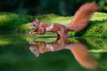 Red squirrel at a pond in the forest in The Netherlands
