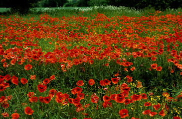 In de dag Rood traf. A field of Papaver rhoeas Field poppies in the countryside