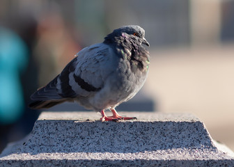 ruffled fluffy grey city dove on granite rock in sunlight against blurred background