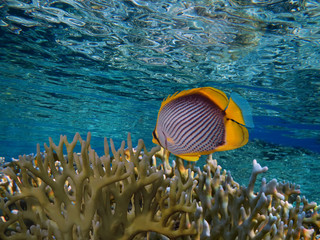 Red Sea coral reef with hard coral and oval butterflyfish