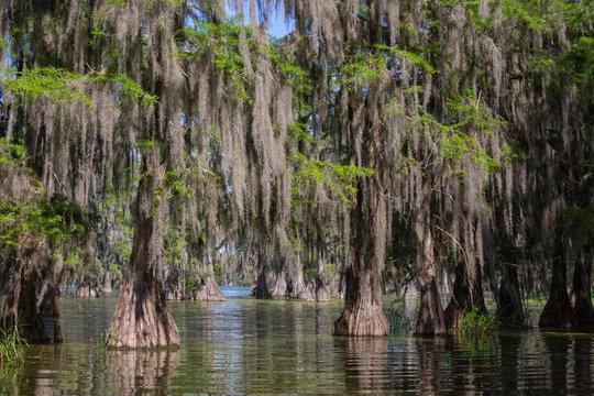 Bald cypresses in Lake Martin, Louisiana