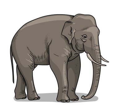 Indian elephant isolated in cartoon style. Educational zoology illustration, coloring book picture.