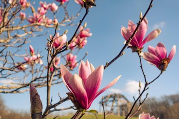 Flowering pink magnolia branch in sunlights on blue sky background.