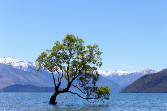 Lonely weeping willow tree in Wanaka Lake with clear blue sky, New Zealand, South Island