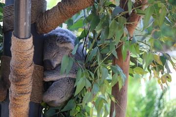 Stores photo Koala Relaxing Koala