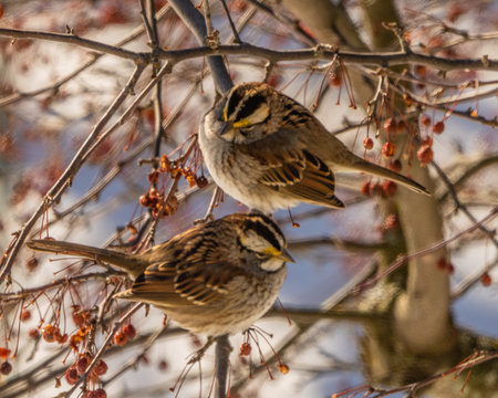 White throated sparrows perched in tree with red berries in winter