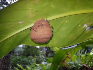 Bee nest under a leaf in Amazon rainforest at Presidente Figueiredo, Brazil