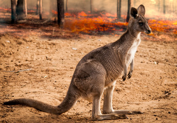 Foto op Aluminium Kangoeroe baby kangaroos from australia saved during the forest fire 2020