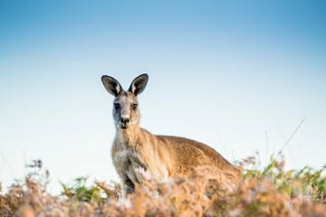 Foto op Aluminium Kangoeroe Maria Island, Tasmania, Australia- March 2019: Forester Kangaroo (Macropus giganteus) one of the biggest kangaroos.