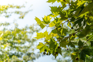 Beautiful Green Leaves Against Sky on Birth Sunny Day, Selective Focus