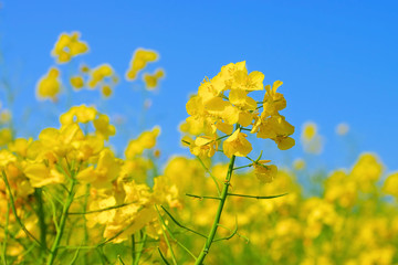 Raps, eine gelbe Rapsblüte im Frühling -  a yellow rapeseed flower in spring