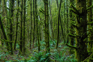 Dense Lush Green Plants and Trees in Pacific Rainforest