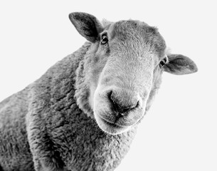 Black and white female sheep looking down. Cute minimalist fluffy ewe. Overexposed cute minimalist animal art